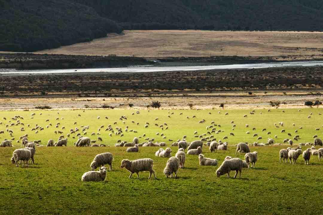 Comment faire cuire des jarrets d'agneau